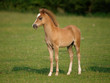 Beautiful Standing Foal