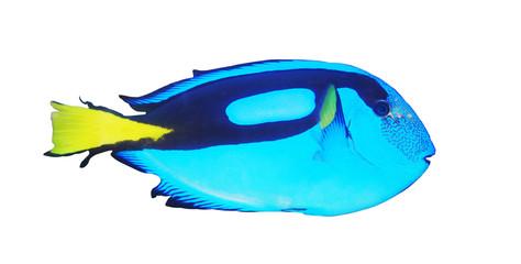 isolated tropical sea surgeon fish