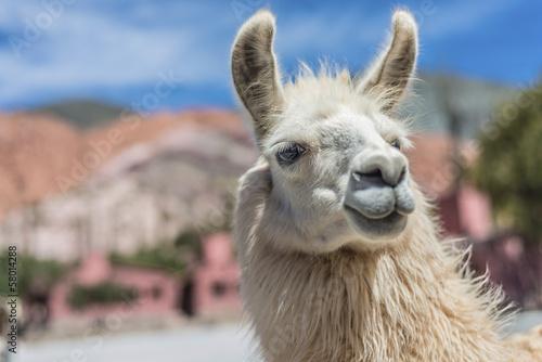 In de dag Lama Llama in Purmamarca, Jujuy, Argentina.