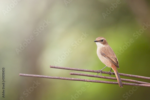 Grey Bush Chat (Saxicola ferreus)