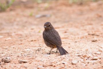 Siberian Stonechat,Bird of Thailand