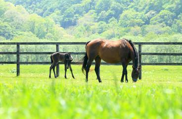馬の親子 北海道の牧場
