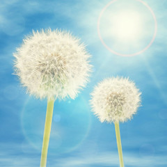 Dandelions in Sunlight