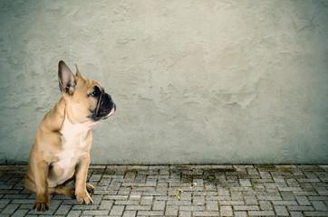 Französische Bulldogge sitzend auf der Straße
