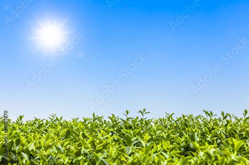 Fototapeten,tee,grün,leaf,feld