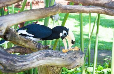 Wreathed Hornbill (Aceros Undulatus)