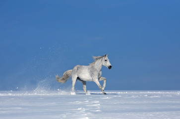 white horse in the whinter