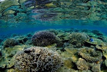 モルディブの浅瀬の珊瑚礁とデバスズメダイの群れ