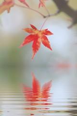 japanisches Ahornblatt mit Wasserspiegelung
