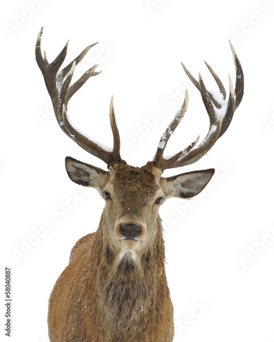 Red deer portrait - 58040887