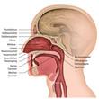 Anatomie der Nase mit Beschreibung, deutsch