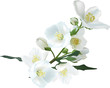 jasmin flower branch isolated on white illustration