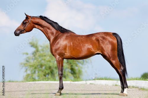 Bay horse - conformation