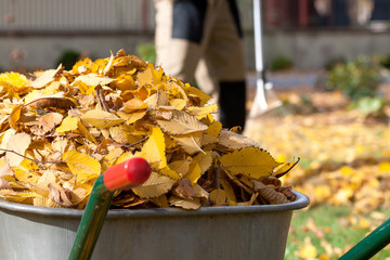 Autumn leaves in a wheelbarrow