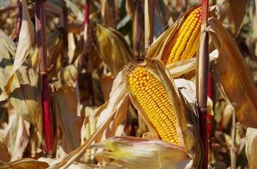 Maiskolben - corn 06