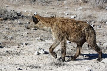 Tüpfelhyäne im Etosha Nationalpark. Namibia
