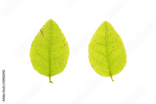 Leaf of European blueberry isolated on white