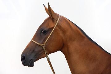 Golden akhal-teke horse portrait