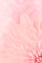 Rosa Chrysantheme Blütenblätter Makroaufnahme