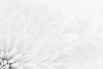 White chrysanthemum petals macro shot