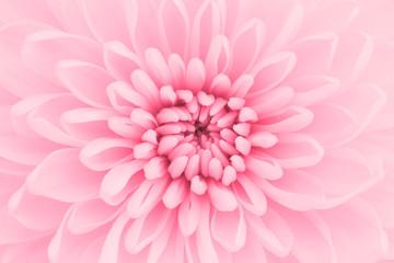 Zdjęcia makro płatki różowy chryzantemy