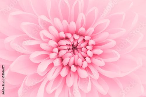 Pink chrysanthemum petals macro shot