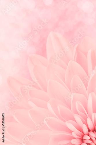 Pink chrysanthemum petals macro shot - 58064099