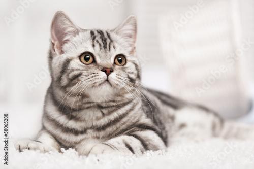 Cat on the carpet © Alexandr Vasilyev