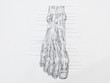 Detail of foot muscles tendons pencil drawing on white paper