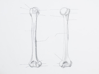 Detail of humerus pencil drawing on white paper