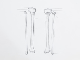 Detail of tibula fibula bones pencil drawing on white paper