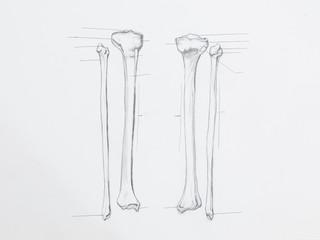 Detail of tibula fibula bones pencil drawing on white paper