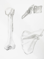 Detail of humerus bones pencil drawing on white paper
