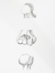 articulation bones humerus femur pencil drawing on white paper