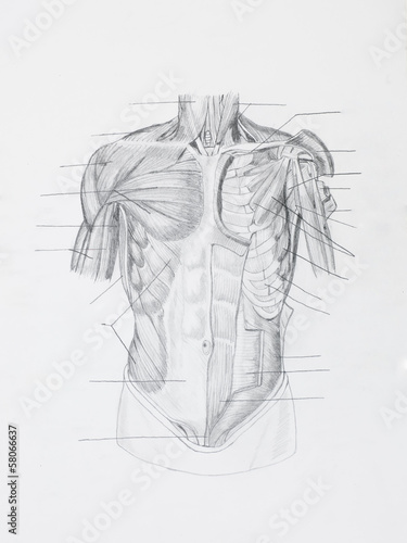 Detail of front human muscles pencil drawing on white paper