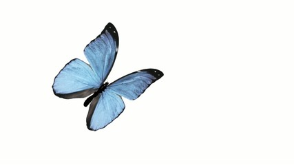 Butterfly animation loop with alpha channel