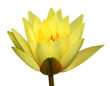 Yellow waterlily isolated on white