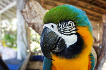 Blue and yellow macaw head detail
