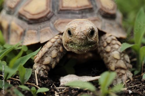 Tuinposter Schildpad African Spurred Tortoise (Sulcata)