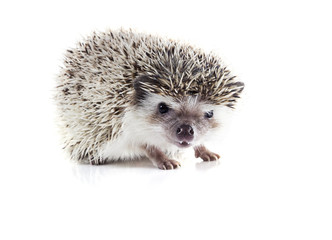Angry African pygmy hedgehog (Atelerix albiventris) on a white b