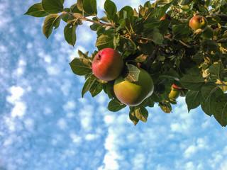 Äpfel vor blauem Himmel