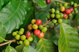 Close up coffee plants tree