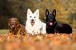 3 Hunde liegend im Laub
