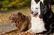 Brauner Labrador mit zwei Schäfern