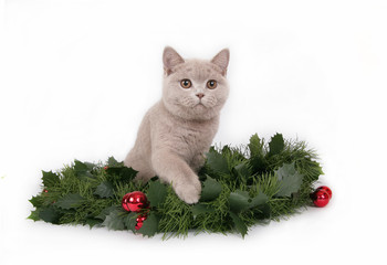 British kitten with Christmas decoration.