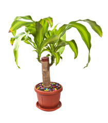 dracaena houseplant in a pot on a white background