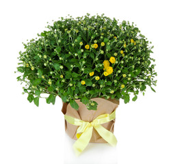 Chrysanthemum bush in pot isolated on white