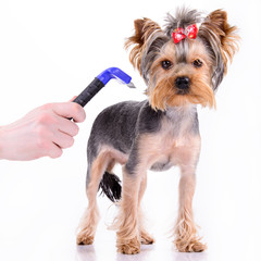 Yorkshire terrier comb