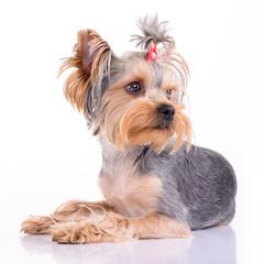 Yorkshire terrier lies