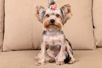 Yorkshire terrier sit